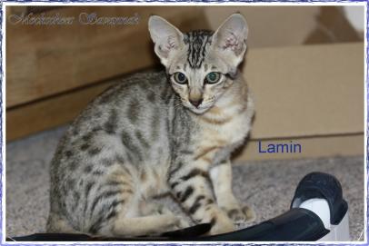 Lamin 13 Wo