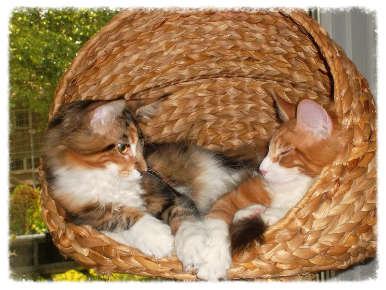Maine Coon Katzen